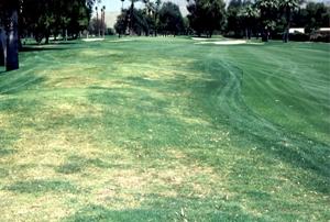 Nematode damage to golf course