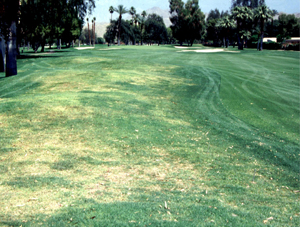 Nematode damage to golf course