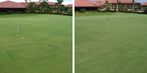 golf course fairy ring before and after