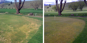 golf course green before and after