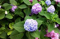 hydrangeas in home garden