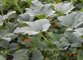 ripe pumpkins in pumpkin patch