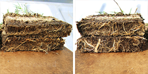 sod root development before and after