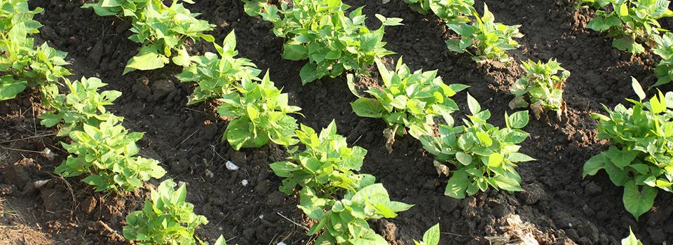 soybeans-in-field-rows