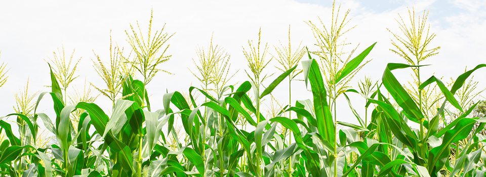 tall corn plants in field